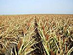 33 несчастья уральского АПК: то засуха, то саранча...